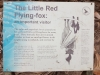 Little Red Flying Fox