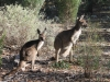 Local Roos