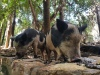 Piglets at Mataranka