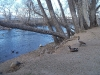 Truckee River Geese