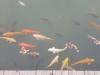 Hiroshima Castle Fish