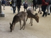 Deer on Miyajima Island