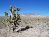 Death Valley Cactus