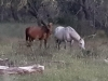 Brumbies at Native Dog Flat