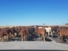 Cattle Drive Winton QLD