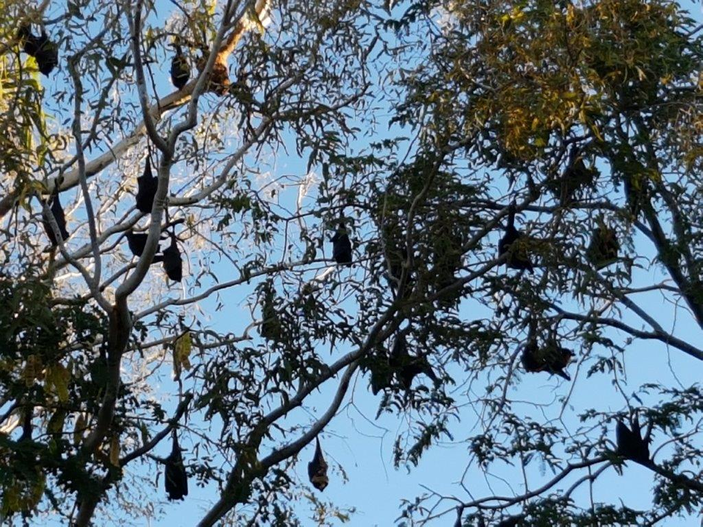 Flying Foxes - Katherine NT