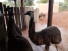 Inquisitive Emus