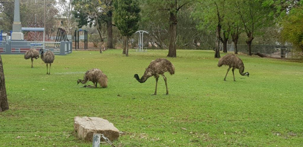 Emus at Wilcania