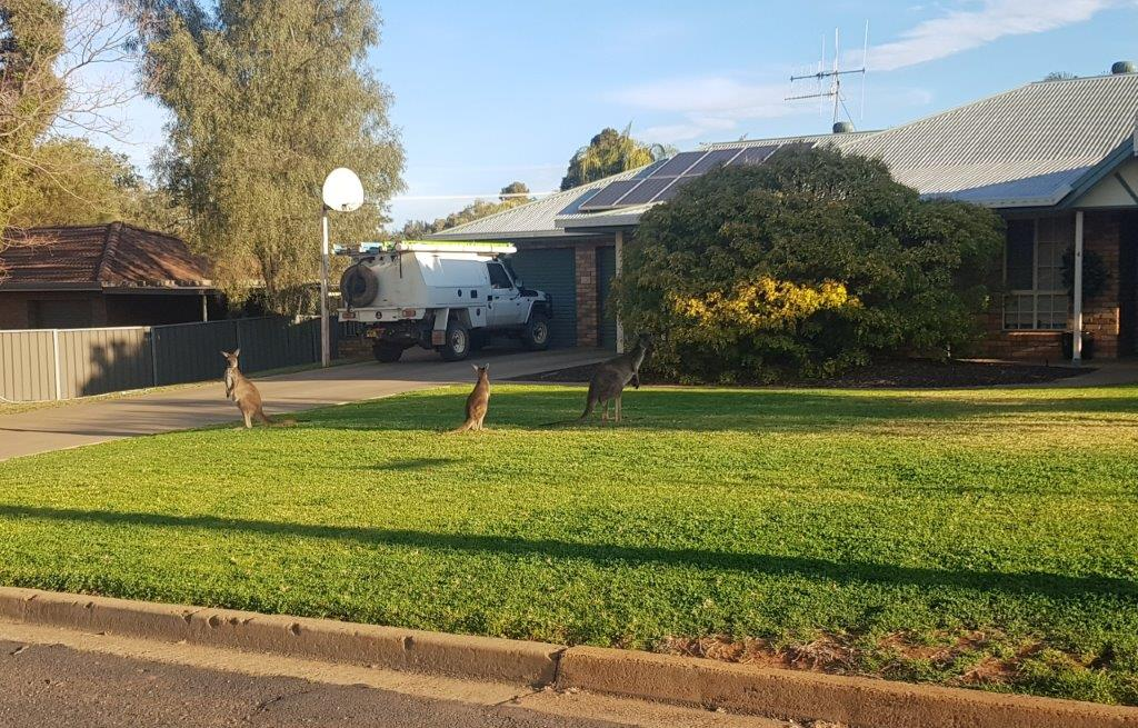 Roos on a lawn