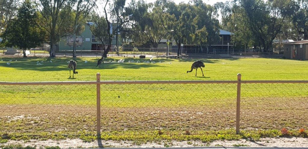 Emus- Cunnamulla