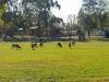 Kangaroos - Cunnamulla